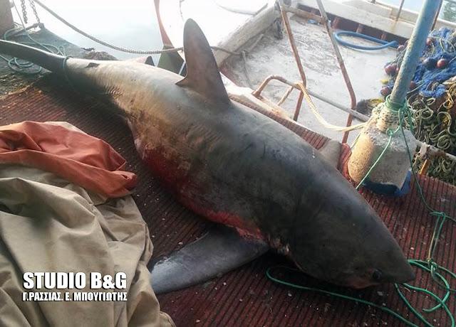 Λιμεναρχείο Ναυπλίου: Έρευνα για τον καρχαρία που αλιεύθηκε στη Νέα Κίο - Είναι είδος υπό προστασία