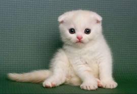 摺耳貓的悲劇 - 無法根治的骨骼遺傳病 - 搞笑Orz動物研究院