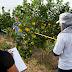 Tecnologias para produção de citros são apresentadas em Capitão Poço (PA)
