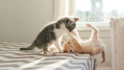 Cara Mensosialisasikan Anak Kucing Anda