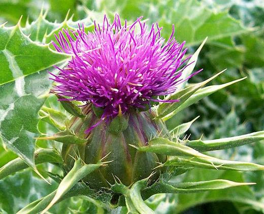Purple Milk Thistle Flower
