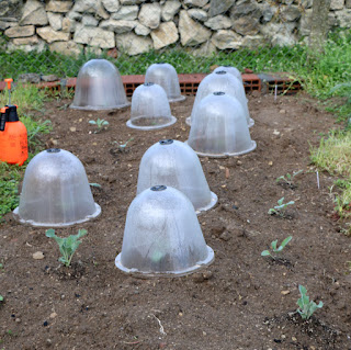 Cloches to stop birds stealing our seedlings