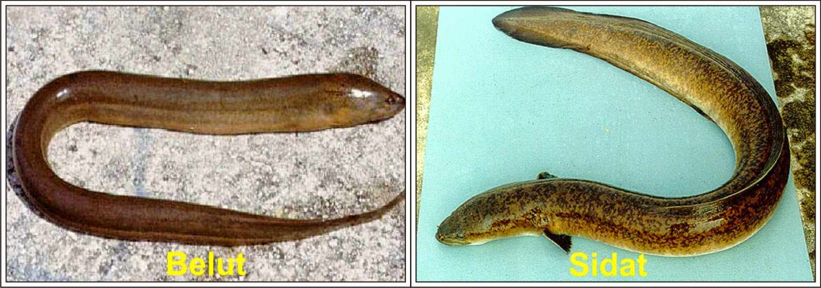Penangkapan Ikan Dengan Melukai Ikan