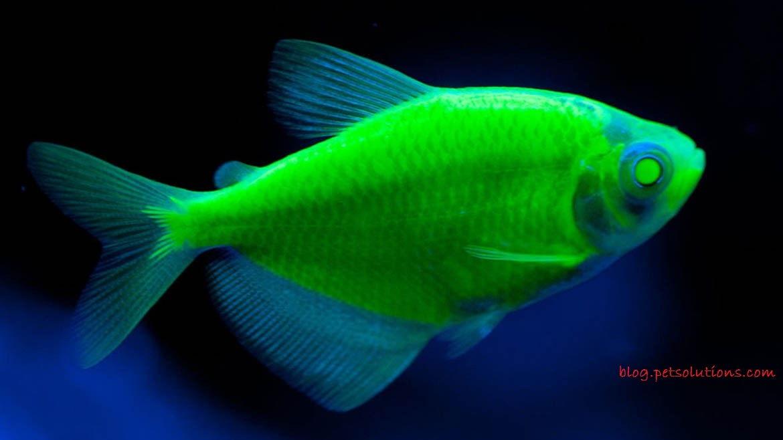 Gambar, Foto Glofish Electric Green Tetra Jenis Ikan Hias Tawar Yang Berwarna Hijau