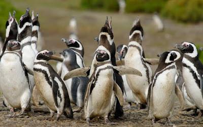 Почему пингвины самые верные любовники.