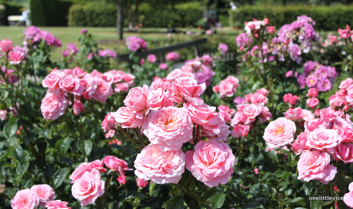 one little vice lifestyle blog: Wisley Rose Garden in Full Bloom
