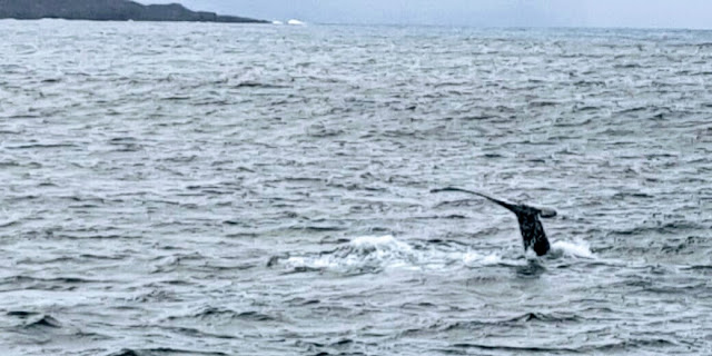 Whales in Akureyri Iceland