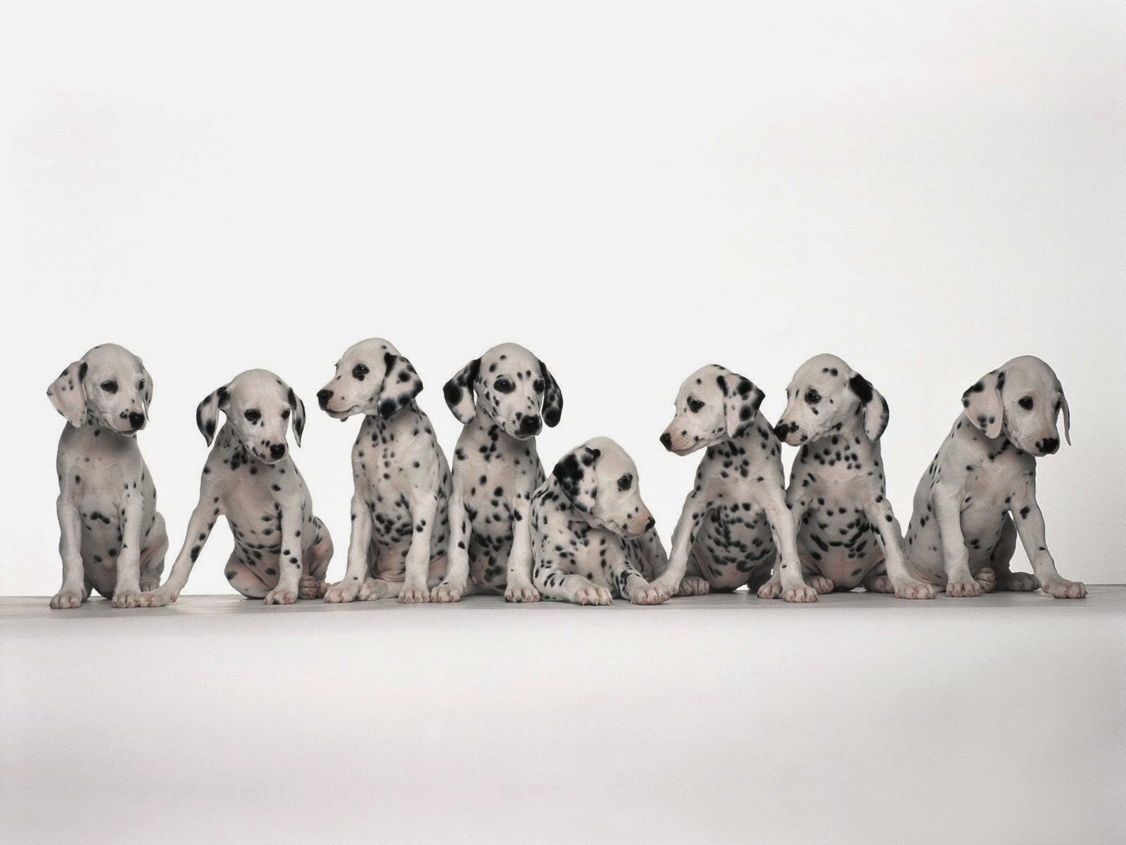 Everything about your Dalmatian