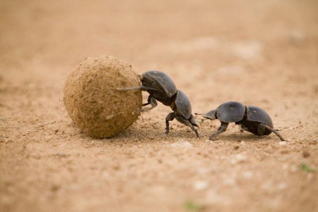 Escarabajo pelotero reproduccion asexual de las plantas