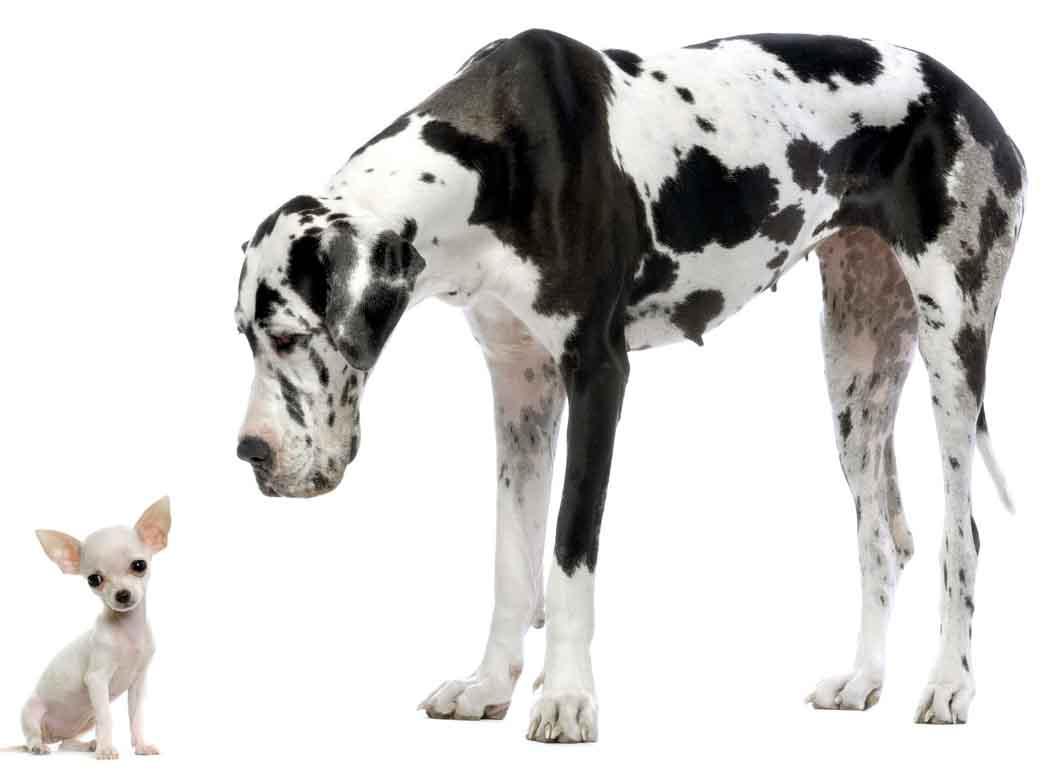 Perro enorme y perro pequeño