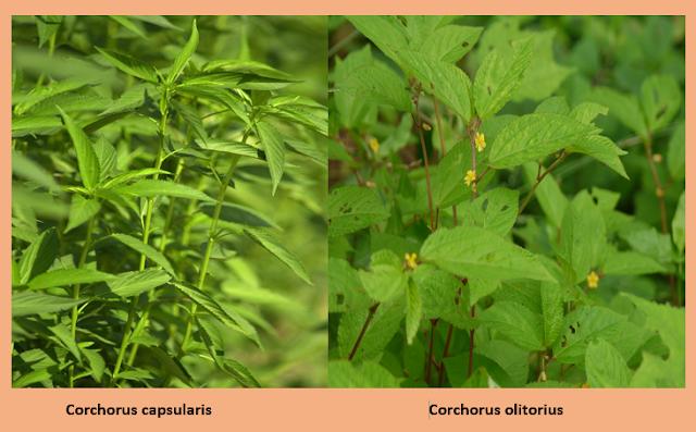 Differences between Corchorus capsularis and Corchorus olitorius