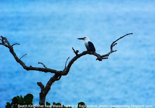 Beach Kingfisher (Todiramphus saurophagus)