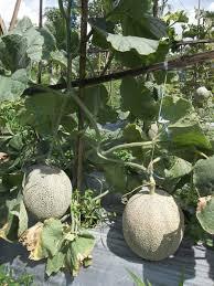 http://tipspetani.blogspot.com/2017/09/cara-pembudidayaan-buah-melon-yang-baik.html