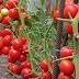 Правильная подкормка томатов в теплице