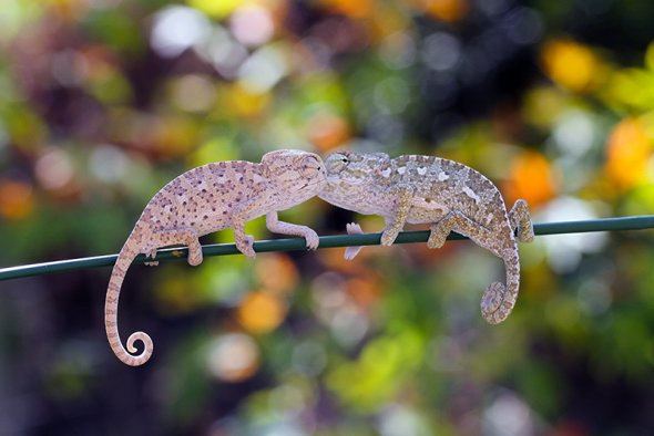 Mehmet Karaca lisans deviantart fotografia macro natureza joaninhas camaleão animais fofura