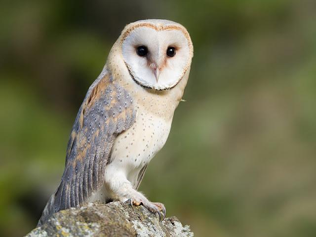 Burung Hantu memiliki telinga yang tajam