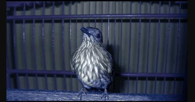 Daftar Harga Burung Siri Siri Update Terbaru Ketika Ini