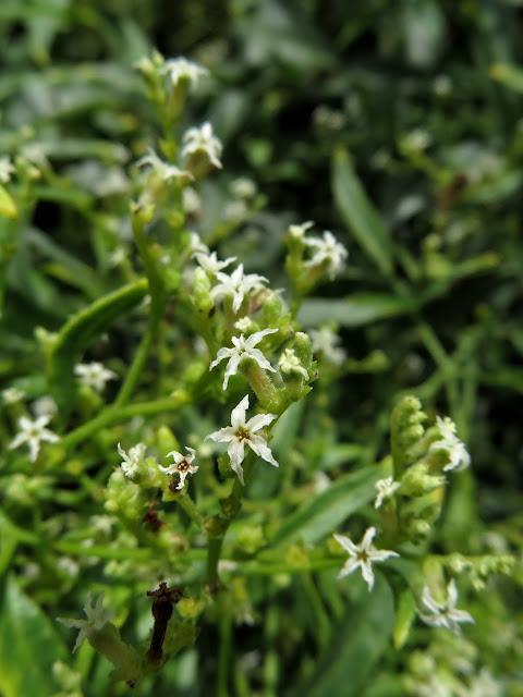 Ceballosia fruticosa