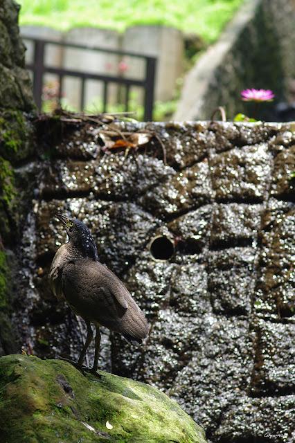 雞南山溢洪道附近,以及自然步道於隧道上方一帶皆常見黑冠麻鷺。