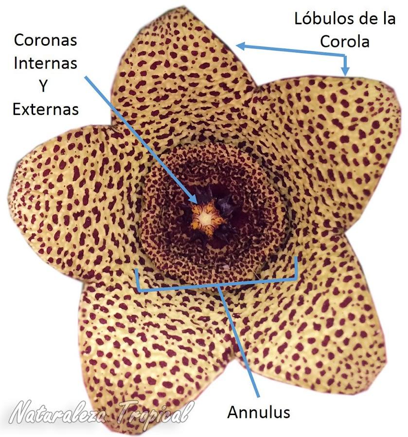 Morfología externa de la flor de Orbea verrucosa mostrando el patrón básico de las flores de la subtribu Stapeliinae