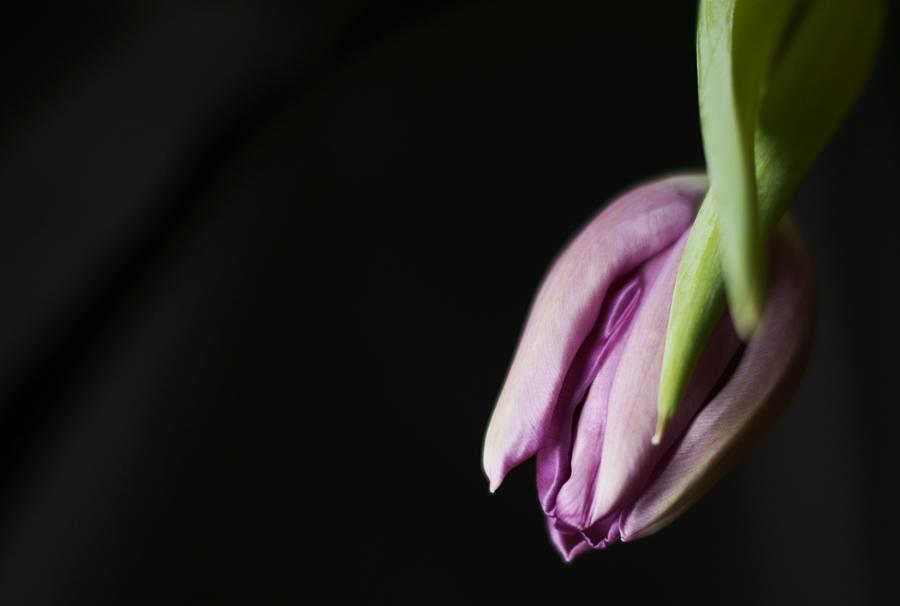 Blog + Fotografie by it's me! - fim.works - geschlossene Blüte einer Lila Tulpe