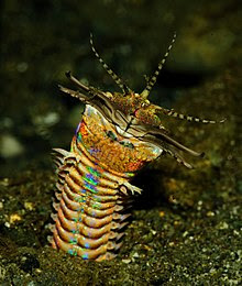 This is a Bobbit Worm and not the same as in the video.