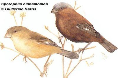 aves en extincion de Argentina Capuchino corona gris Sporophila cinnamomea