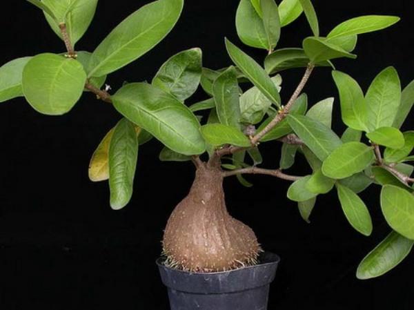 Tự trồng Kiến kỳ nam - Hydnophytum formicarum - Nguyên liệu làm thuốc Chữa Đi Lỏng-Đau Bụng