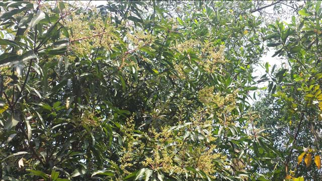 Mou Mou aroma of mango blossoms around golapaganje