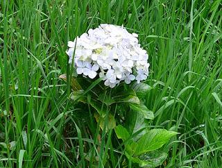 Bunga Panca Warna Dieng