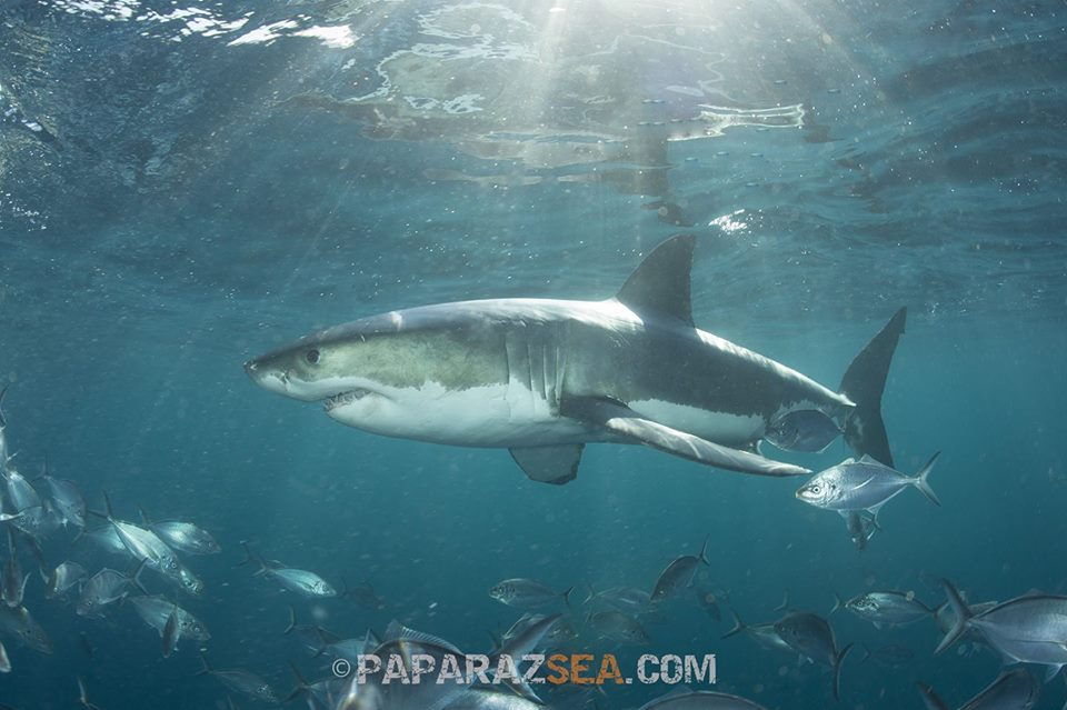 Great White Shark Enemies | Diving With Great White Sharks Paparazsea