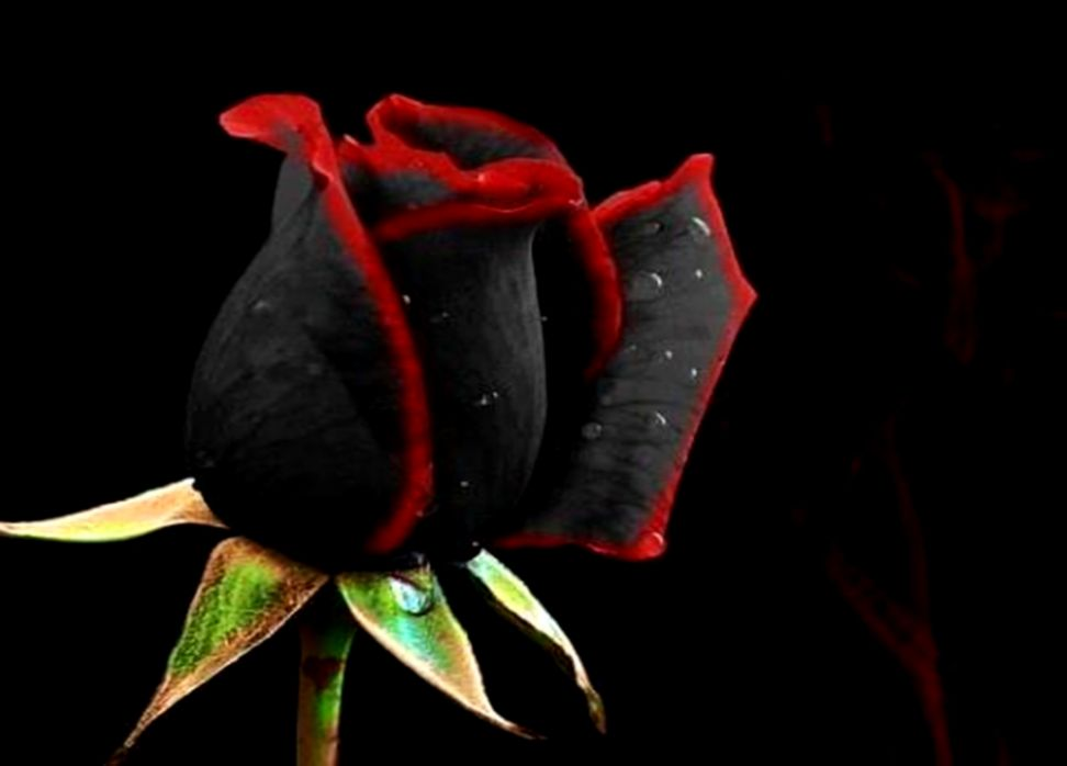 Black Roses Hd Wallpaper Free Download All Hd Wallpapers Gallery