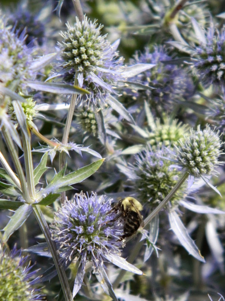 Globe thistle Echinops ritro  by garden muses-not another Toronto gardening blog