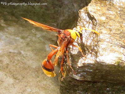 Potter Wasps