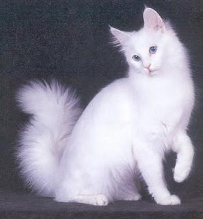 ras kucing angora asli turki