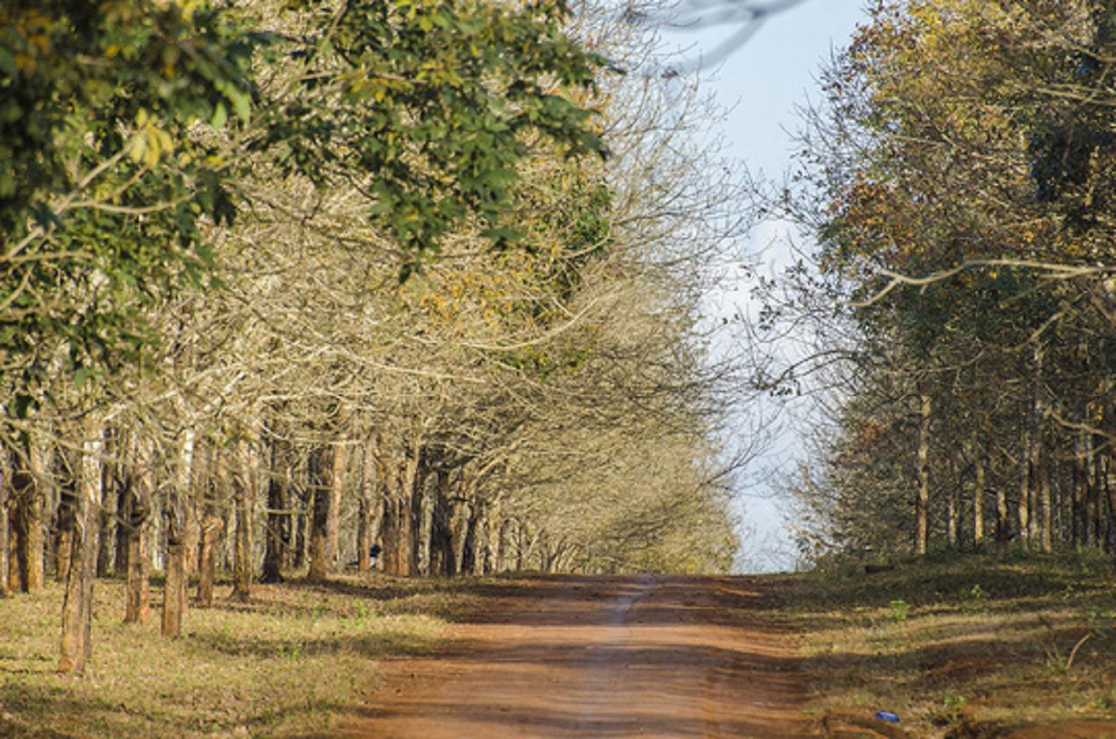 Gia Lai: Đẹp ngẩn ngơ mùa cao su trút lá