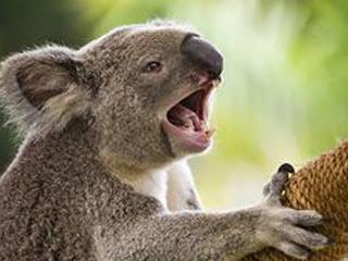 komunikasi koala