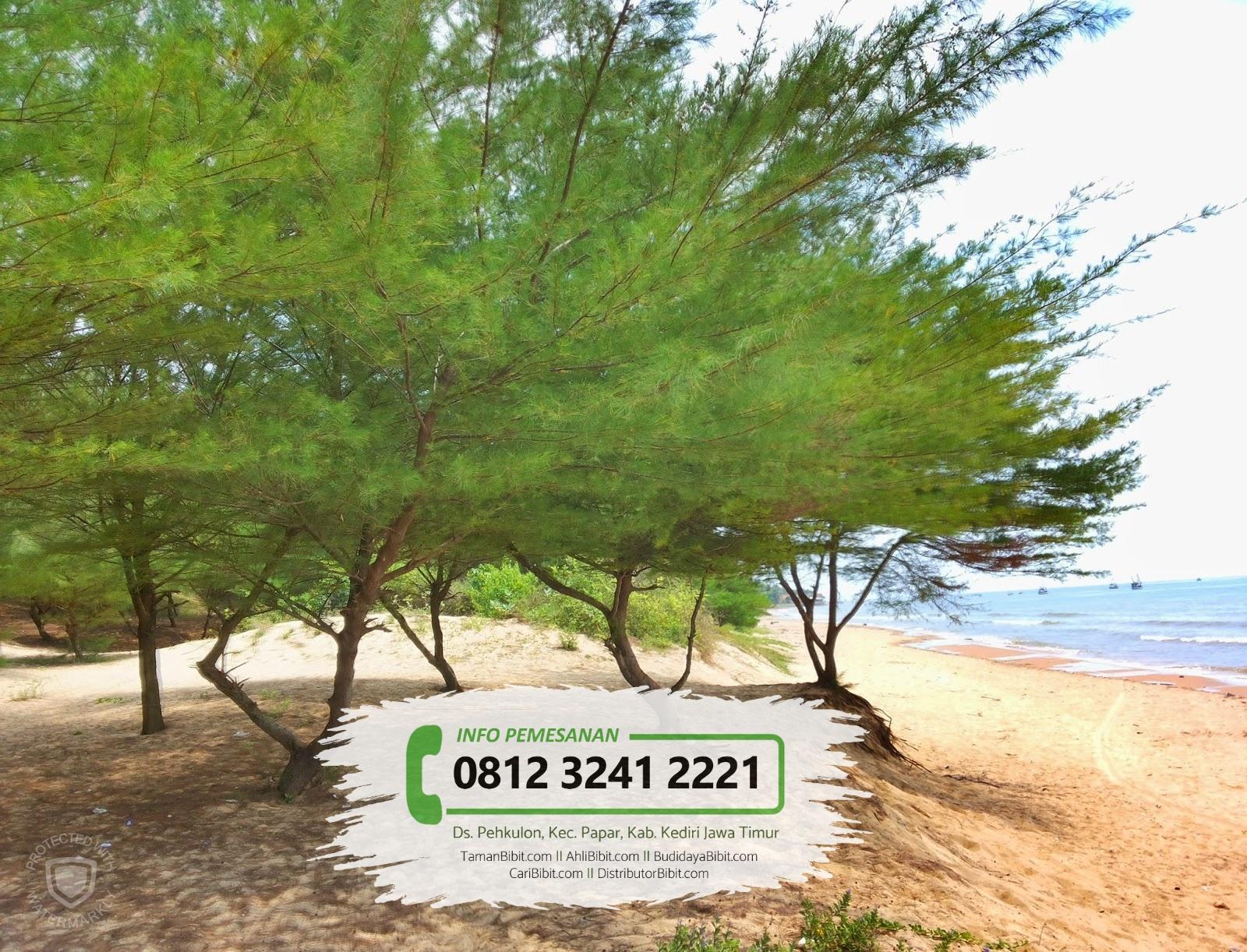 Jual Benih / Biji Pohon Cemara Laut