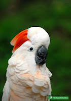 Burung Kakatua Maluku Selatan Hilang di habitatnya
