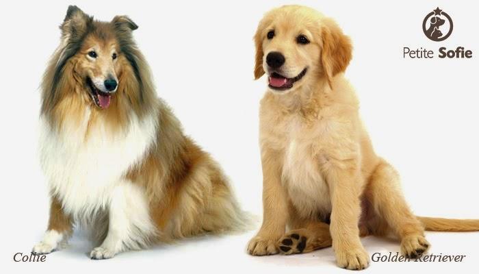 Cães grandes: Border Collie e Golden Retriever