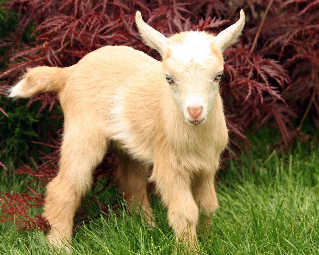 18. Nigerian Dwarf Goat by TheBigWRanch12