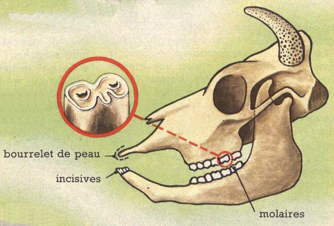 formule dentaire de la vache