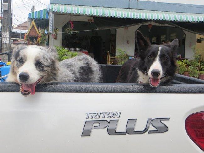 Счастливые собаки в машине