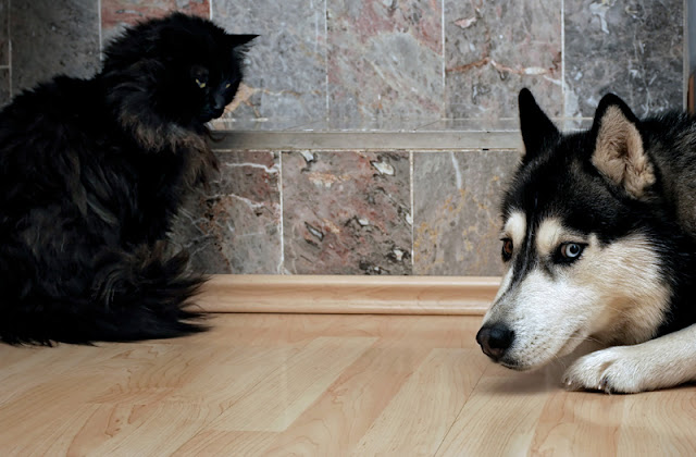 Dogs and cats living together are often friends, but it's the cat's comfort with the dog that matters most