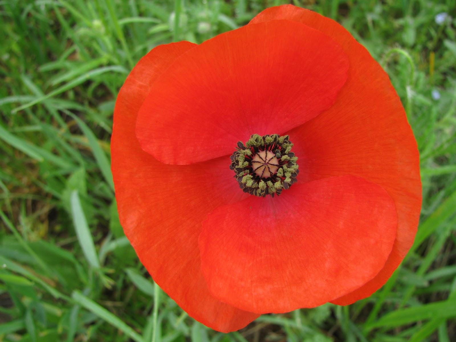 Melanged magic prolific poppies melanged magic izmirmasajfo