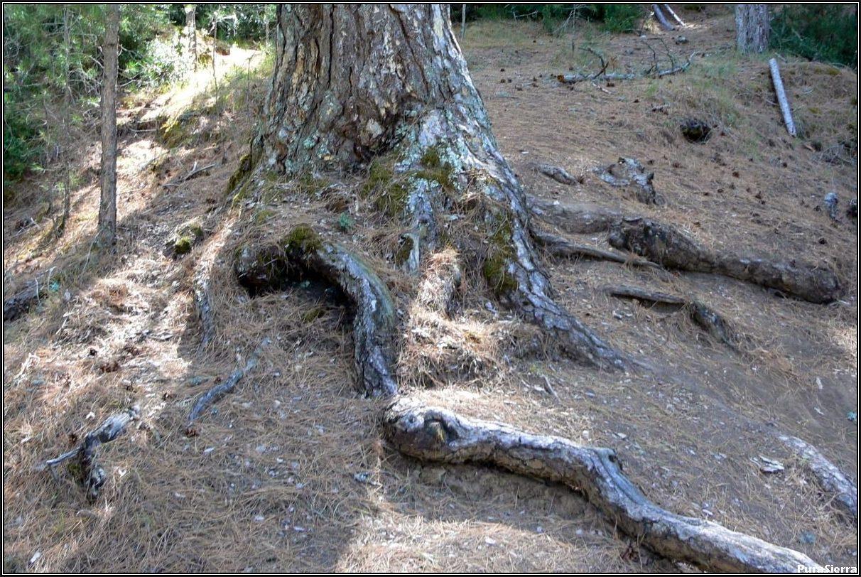 Raíz descubierta de pino laricio