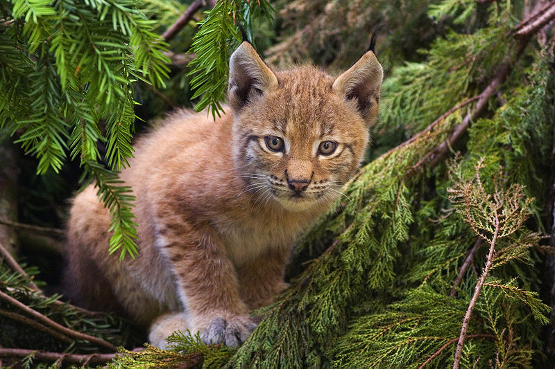 Mammals Animals: Lynx kitten