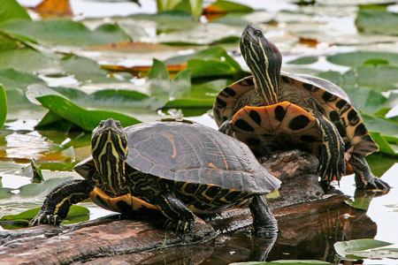 Cannundrums Turtle RedEared Slider Soup