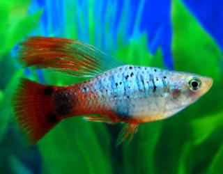 Cara Budidaya Ikan Hias Platy