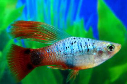 Cara Budidaya Ikan Platy Paling Mudah (Lengkap)